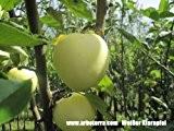 Weisser Klarapfel, Apfelbaum als Halbstamm, Kronenansatz in ca. 1,50 m Höhe, wurzelnackt, veredelt auf Bittenfelder Sämling, alte Obstsorte
