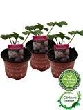 Weiße Ananas-Erdbeere im 3er Set,exotische Ananaserdbeere,frische Erdbeerpflanze