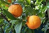 ★ ★ Winterharter Orangenbaum ★ ★ 5 Samen ''Citrus aurantium'' -Bitterorange- ★★ -25°C ★★