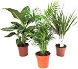 Zimmerpflanzen-Mix II 3er Set, 1x Diefenbachia, 1x Chamaedorea 1x Dracena marginata, 10-12cm Topf.